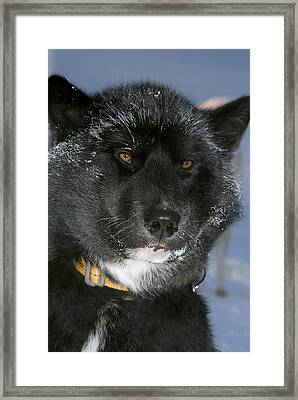 Greenlandic Sledge Dog Framed Print