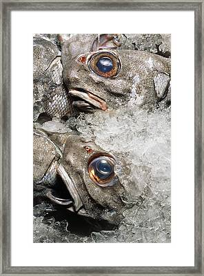 Grenadier Fish Packed In Ice After Being Caught Framed Print by Sinclair Stammers