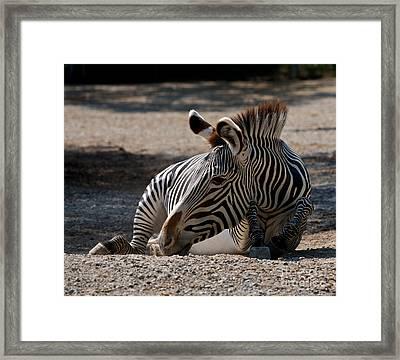 Grevys Zebra Framed Print by Chris Brewington Photography LLC