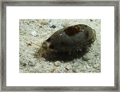 Grey And Brown Wandering Cowries, South Framed Print