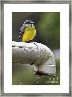 Grey-capped Flycatcher Framed Print by Heiko Koehrer-Wagner
