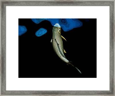 Grey Chagoi01 Framed Print