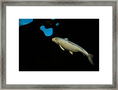 Grey Chagoi02 Framed Print