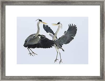 Grey Heron Ardea Cinerea Pair Fighting Framed Print