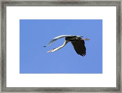 Grey Heron Flying Framed Print by Duncan Shaw