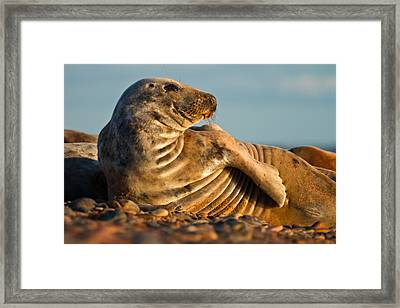 Grey Seal Halichoerus Grypus Watching Framed Print