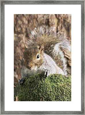 Grey Squirrel Framed Print by David Aubrey