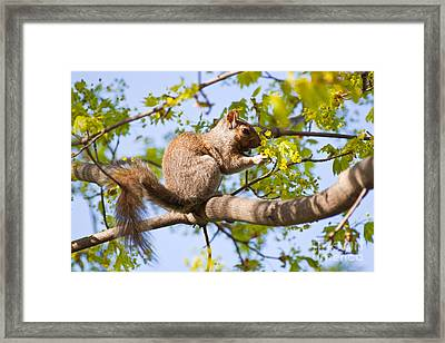 Framed Print featuring the photograph Grey Squirrel Feedingtime by Christine Amstutz
