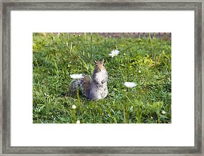 Grey Squirrel Framed Print by Georgette Douwma
