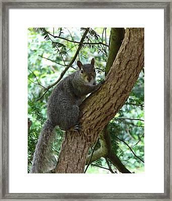 Grey Squirrel Framed Print by Sharon Lisa Clarke