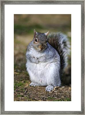 Grey Squirrel Sitting On The Ground Framed Print by Colin Varndell