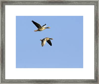Greylag Geese In Flight Framed Print