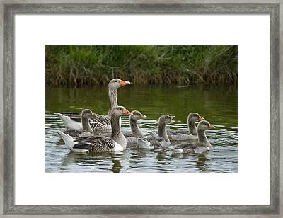 Greylag Goose Anser Anser Couple Framed Print by Willi Rolfes