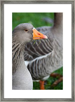 Greylag Goose  Framed Print by Bonnie Bruno