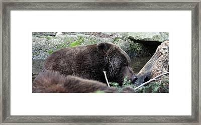 Framed Print featuring the photograph Grizzley - 0004 by S and S Photo