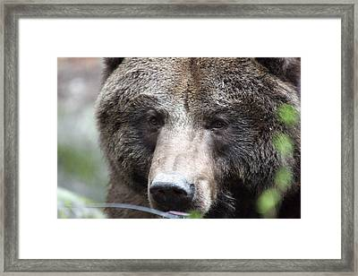 Framed Print featuring the photograph Grizzley - 0018 by S and S Photo
