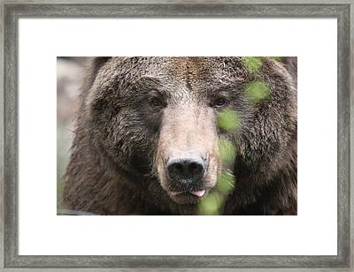 Framed Print featuring the photograph Grizzley - 0020 by S and S Photo