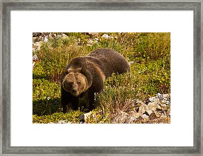 Grizzly 1 Framed Print