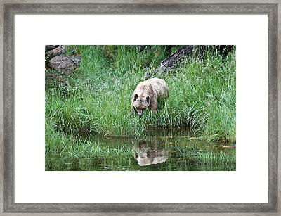 Grizzly Bear And Reflection On Prince Rupert Island Canada 2209 Framed Print
