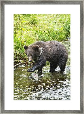 Grizzly Cub Catching Fish In Fish Creek Framed Print by Richard Wear