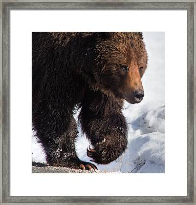 Framed Print featuring the photograph Grizzly On Snow by J L Woody Wooden