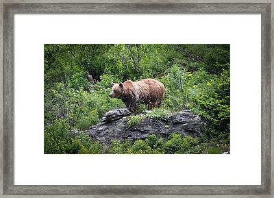 Framed Print featuring the photograph Grizzly by Ronda Broatch