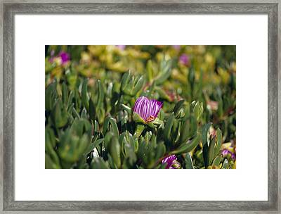 Ground Cover Succulent Pig Face Framed Print by Jason Edwards