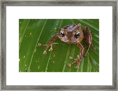 Ground Frog Nakanai Mts Papua New Guinea Framed Print by Piotr Naskrecki