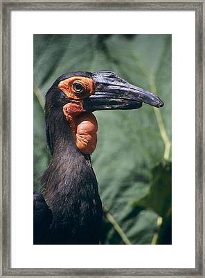 Ground Hornbill Head Framed Print by David Aubrey