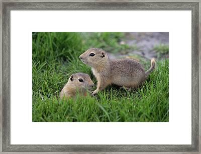 Ground Squirrels, Oak Hammock Marsh Framed Print