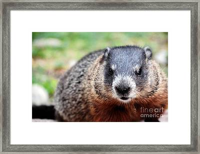 Groundhog Framed Print