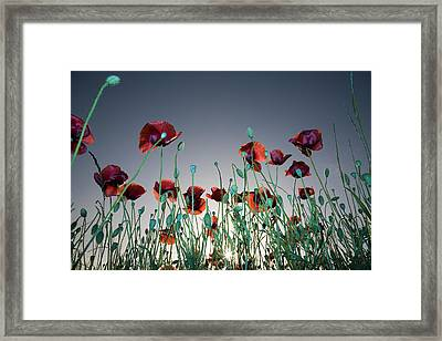 Group Of Red Poppies(papaver Rhoeas) In A Field, Drome, France Framed Print by Pascal Preti