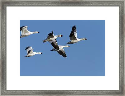 Group Of Snow Geese In Flight. Chen Framed Print