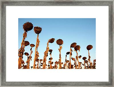 Group Of Sunflowers Wilted In The Sunrise Framed Print by Bernard Jaubert