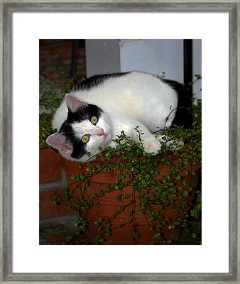 Growing A Kitten Framed Print by Skip Willits