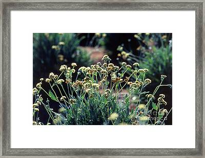 Guayule Plants Framed Print by Science Source