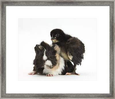 Guinea Pig And Black Bantam Chick Framed Print by Mark Taylor