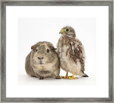 Guinea Pig And Kestrel Chick Framed Print
