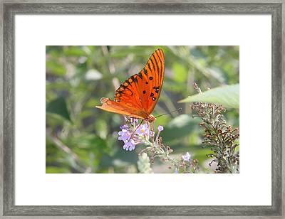 Gulf Fritillary #4 Framed Print by Paula Tohline Calhoun