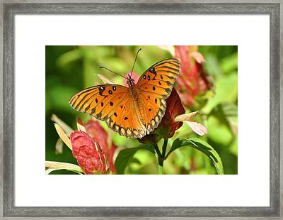 Gulf Fritillary Butterfly On Flower Framed Print