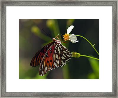 Gulf Fritillary Framed Print by Melanie Viola