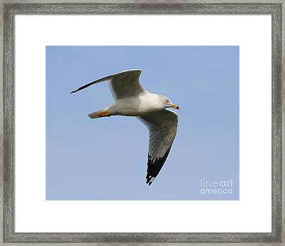 Gull In Flight . 7d12084 Framed Print by Wingsdomain Art and Photography