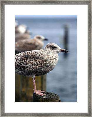 Gulls Framed Print by Falko Follert