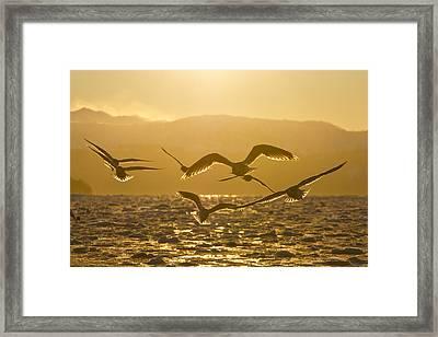 Gulls In Golden Light Framed Print