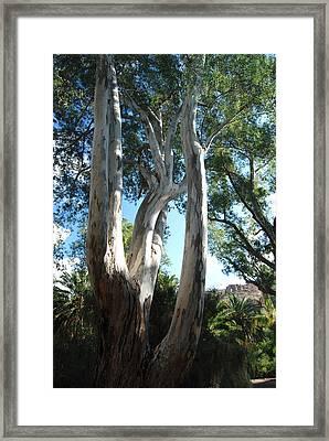 Gum Trees Framed Print