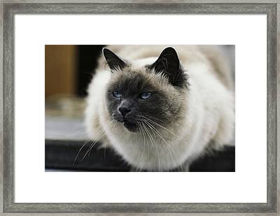 Gusty, The Pet Cat Of Skip And Gerri Framed Print by James L. Stanfield