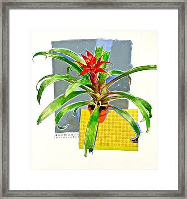 Guzmania  Framed Print by Cliff Spohn