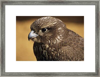 Gyr Falcon Framed Print by David Aubrey