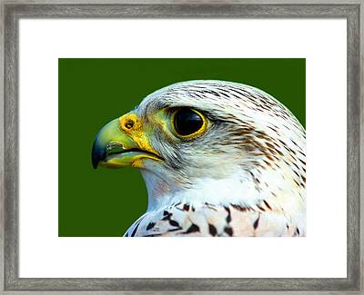Gyr Falcon Framed Print by Ron Boily