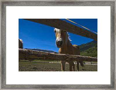 Haflinger Horse Looks Through A Fence Framed Print by Todd Gipstein